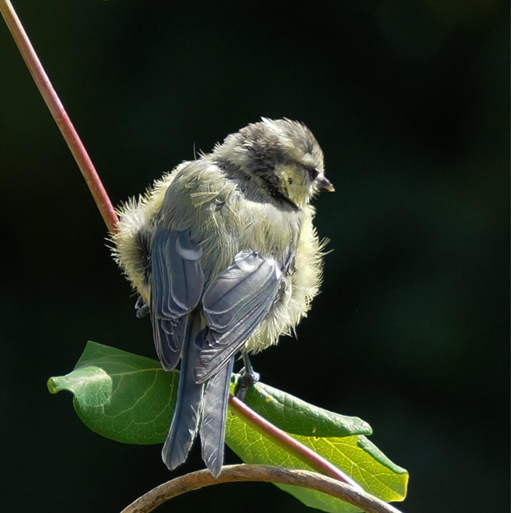 Blåmeis ( Cyanistes caeruleus)