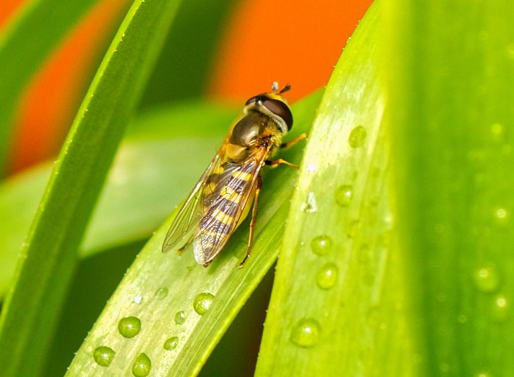 Sveveflue/ Blomsterflue (Syrphidae)