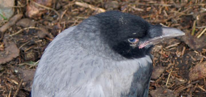 Kråke (Corvus cornix)