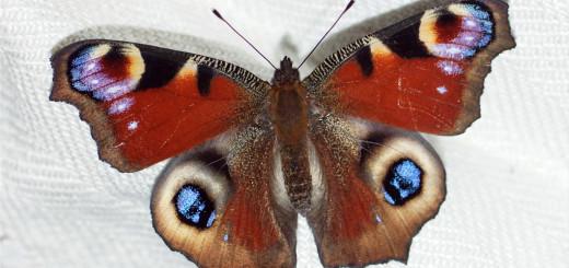 Dagpåfugløye (Aglais io)