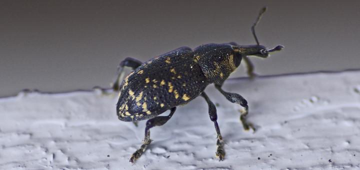 Gransnutebille (Hylobius abictis)