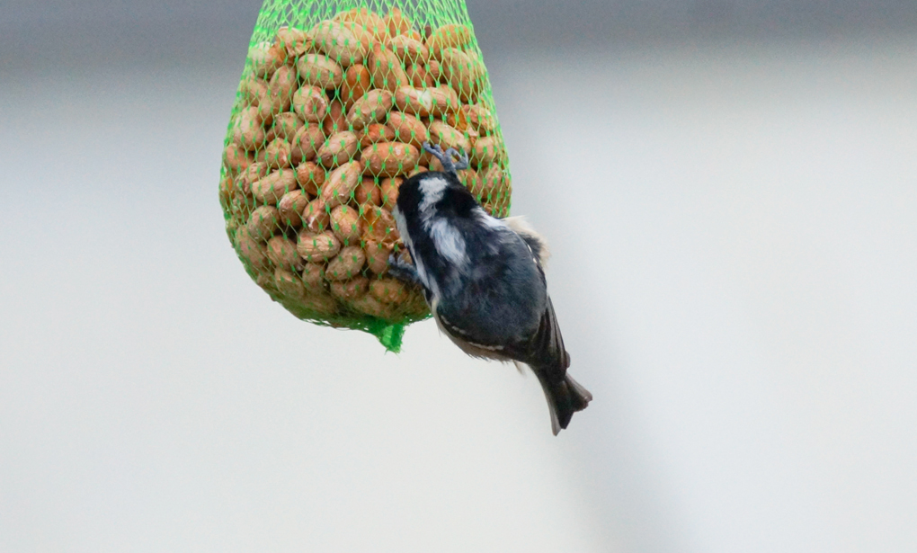 Svartmeis (Periparus ater)