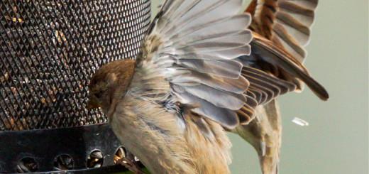 Gråspurv (Passer domesticus)