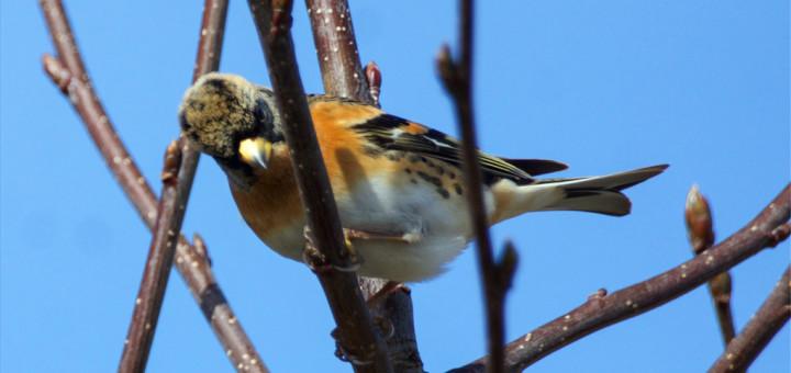 Bjørkefink (Fringilla montifringilla)