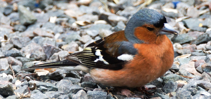 Bokfink,hann  (Fringilla coelebs)