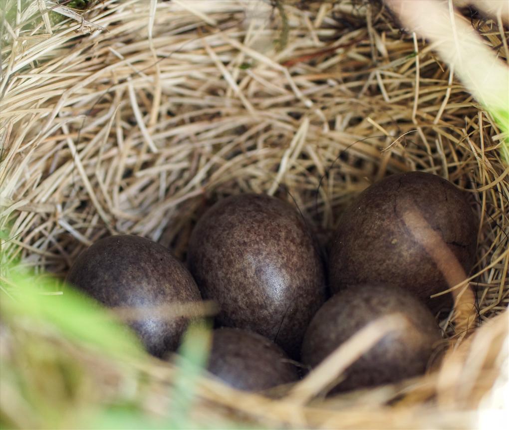 Heipipelerke-egg