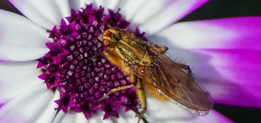Gjødselflue (Scathophaga stercoraria)