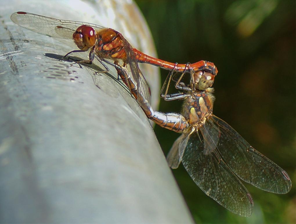 Blodrød høstlibelle