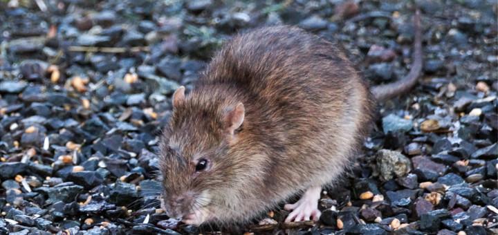 Brunrotte (Rattus norvegicus)