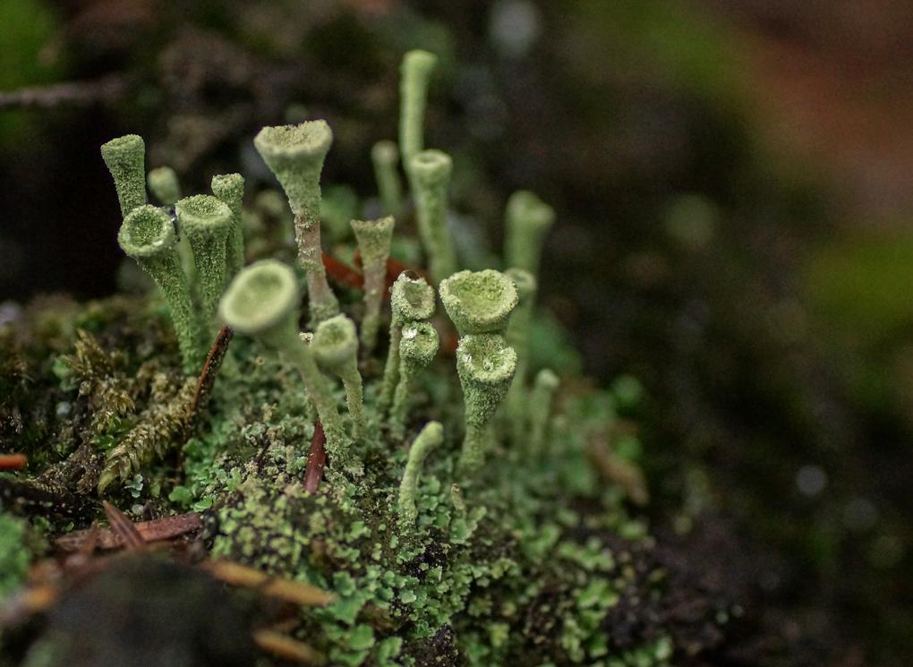 Melbeger (Cladonia fimbriata)