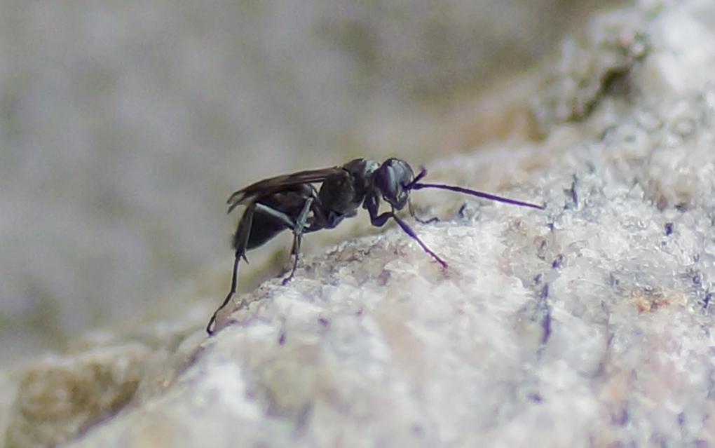 Veiveps (Pompilidae)