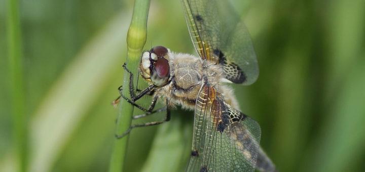 Firflekklibelle (Libellula quadrimaculata)