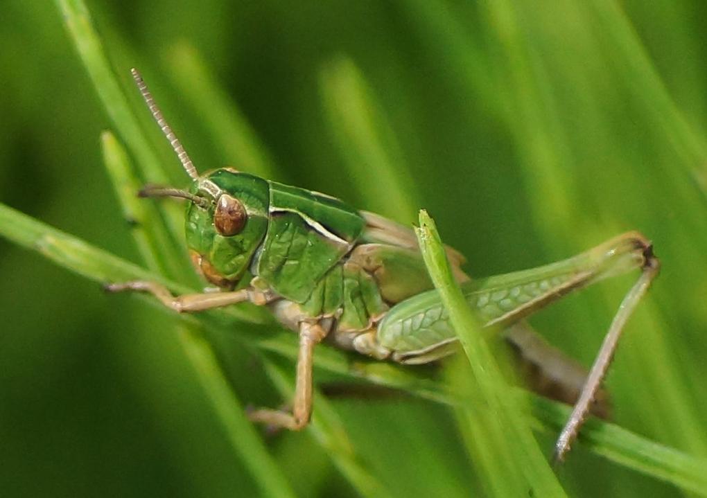 Grønn markgresshoppe (Acrididae)