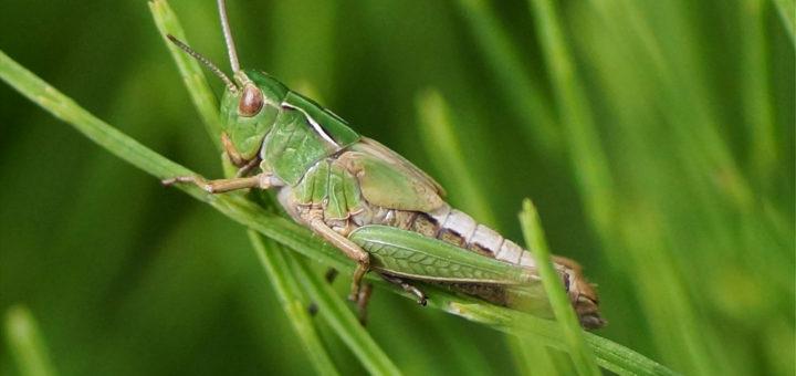 Grønn markgresshopper (Acrididae)