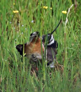 Vipe (Vanellus vanellus)