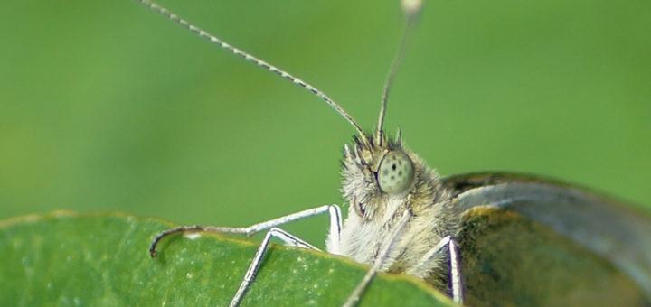 Stor Kålsommerfugl (Pieris brassicae)