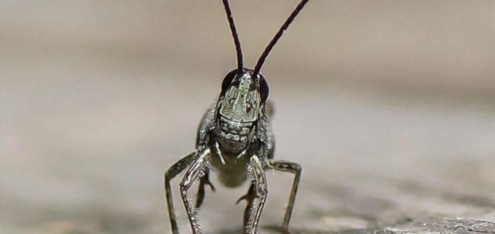 Gråbrun markgresshoppe (Chorthippus brunneus)