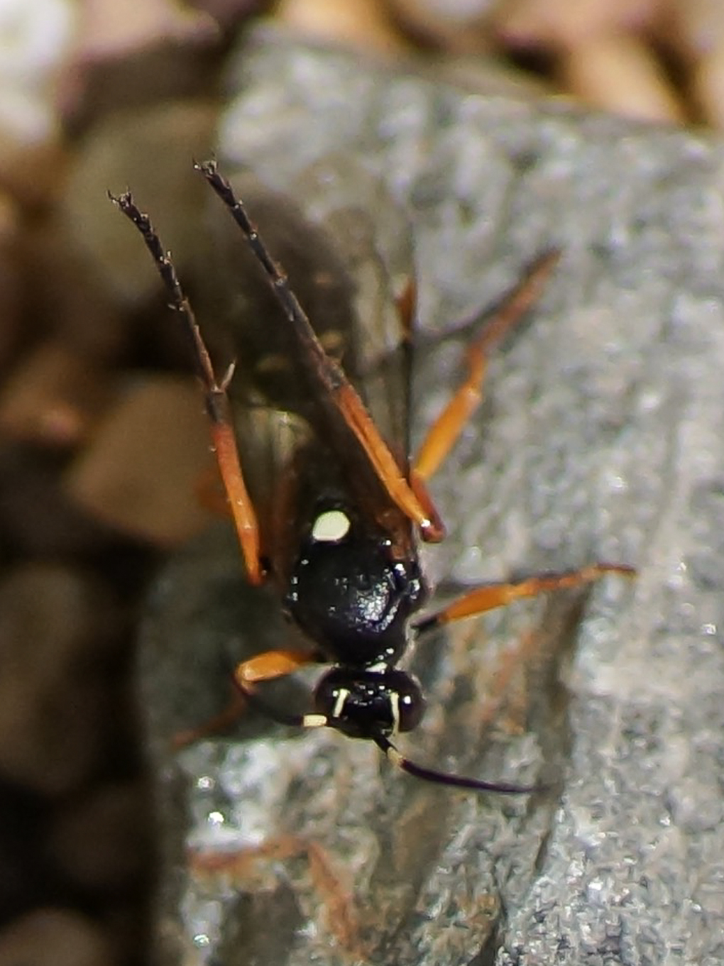 Snylteveps (Diphyus quadripunctorius)