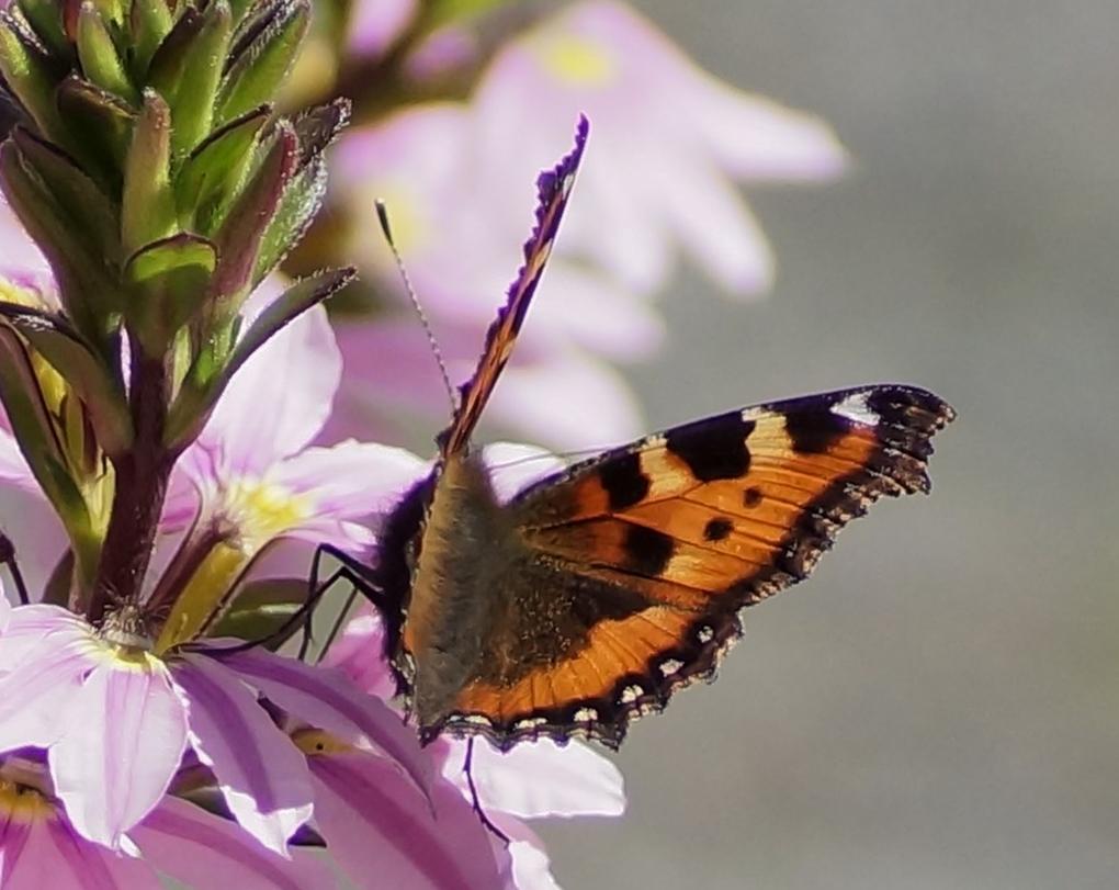 Neslesommerfugl (Aglais urticae)