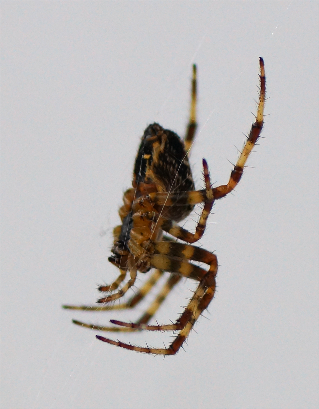 Korsedderkopp (Araneus diadematus)