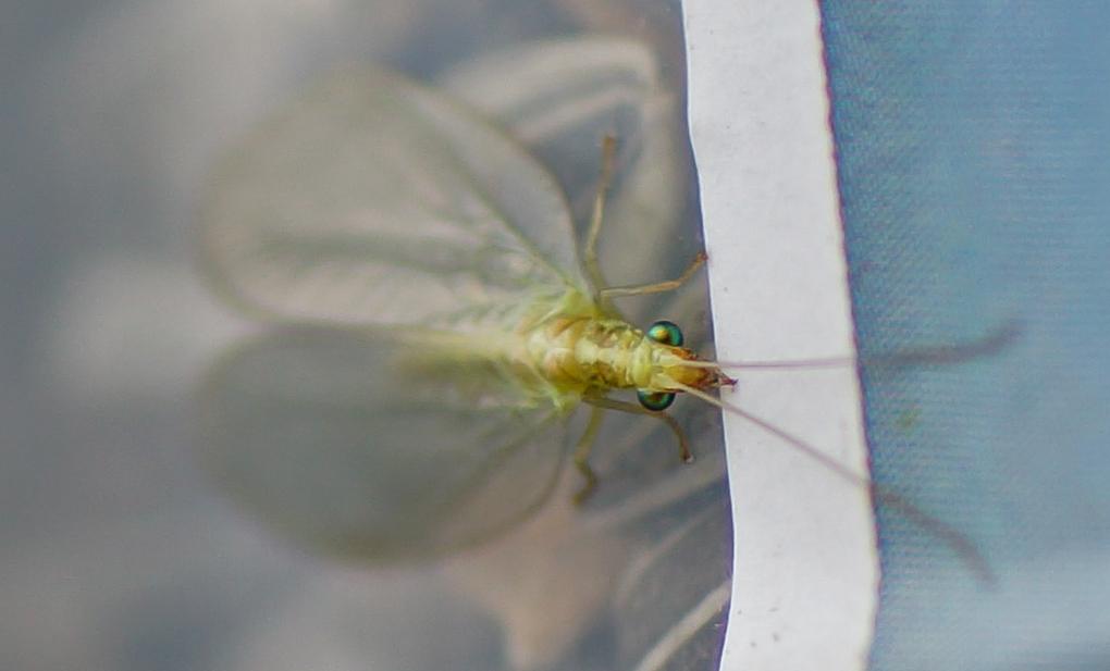 Gulløye (Chrysopidae)