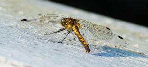Svart høstlibelle, hunn (Sympetrum danae)