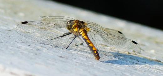 Svart høstlibelle, hunn