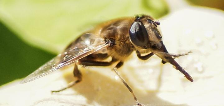 Stor droneflue (Eristalis tenax)