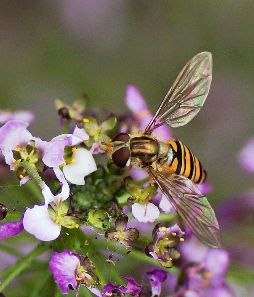 Dobbeltbåndet blomsterflue (Episyrphus balteatus)