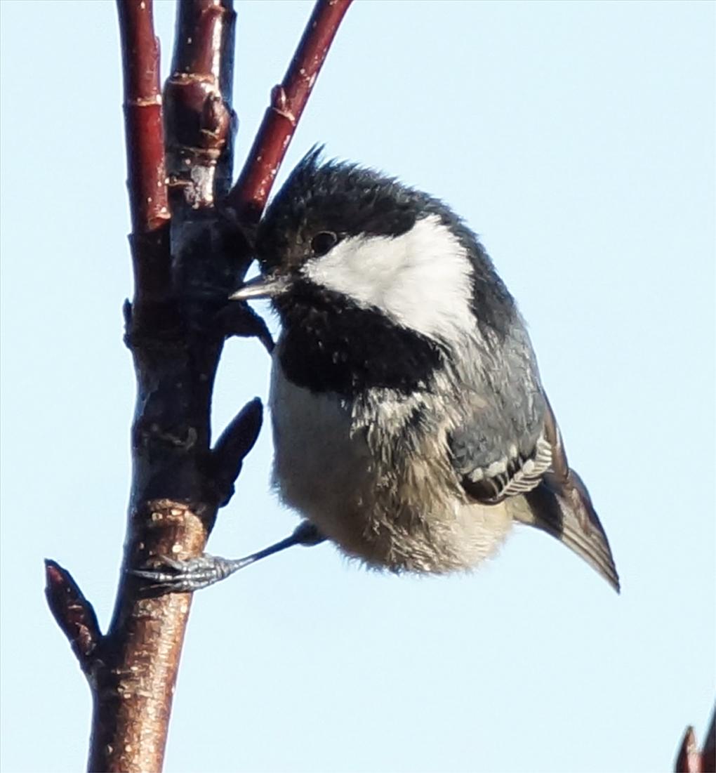 Svartmeis (Periparus ater tidl. Parus ater)