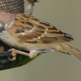 Pilfink (Passer montanus)