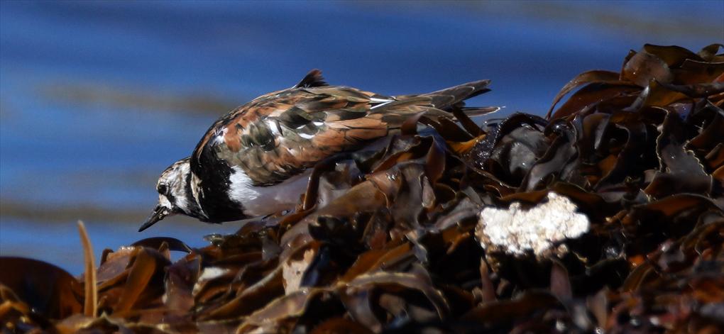 Steinvender (Arenaria interpres)