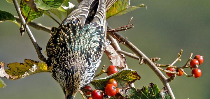 Stær (Sturnus vulgaris)