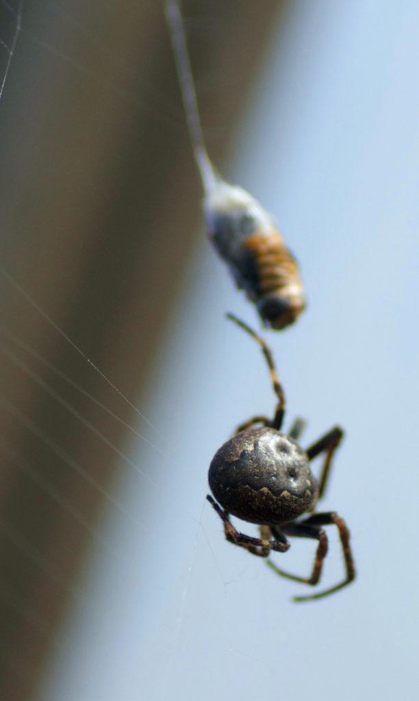 Hjulspinner (Nuctenea umbratica)